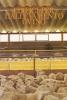 Edifici per l'allevamento ovino